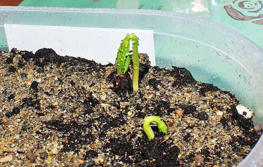 Как вырастить кедр бонсай из семян в домашних условиях