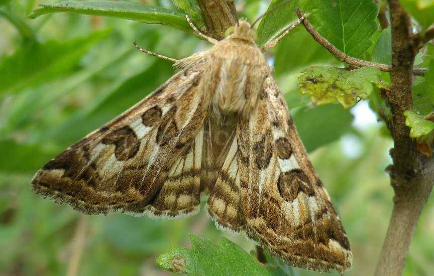 Бабочки (гусеницы)