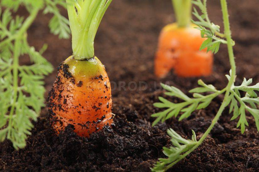 Осенний(подзимний) посев моркови