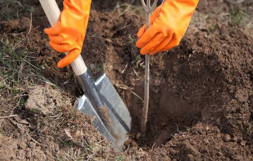 Можно ли сажать весной плодовые деревья 29
