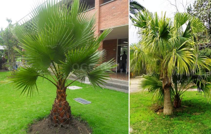 Комнатная пальма : фото и названия видов, как ухаживать 86