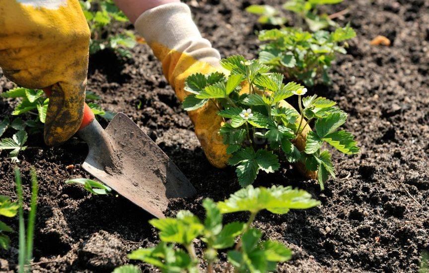 Земляника садовая выращивание и уход после сбора урожая 10