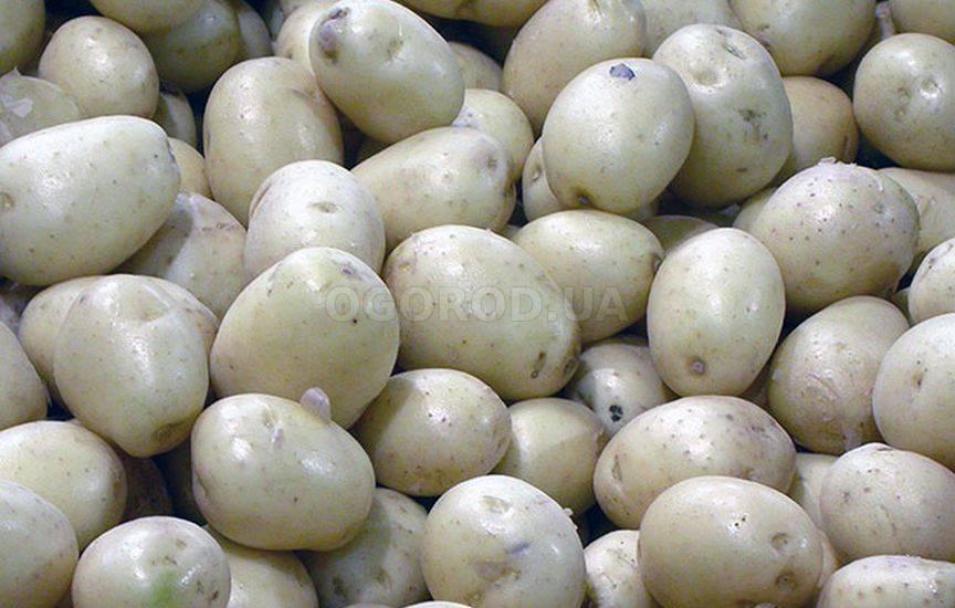Картофель – обработка перед посадкой