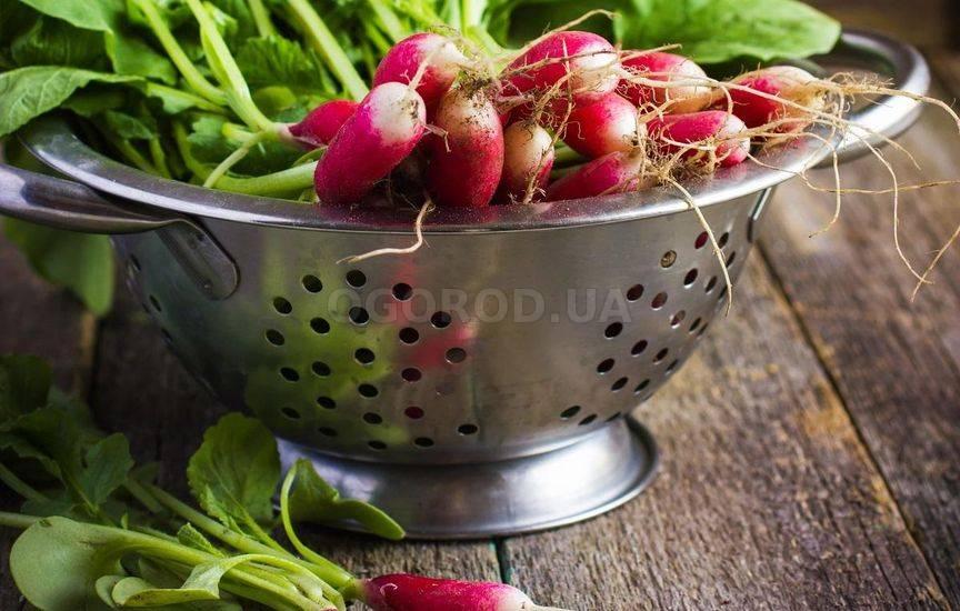Лучшие сорта редиса для теплицы и открытого грунта