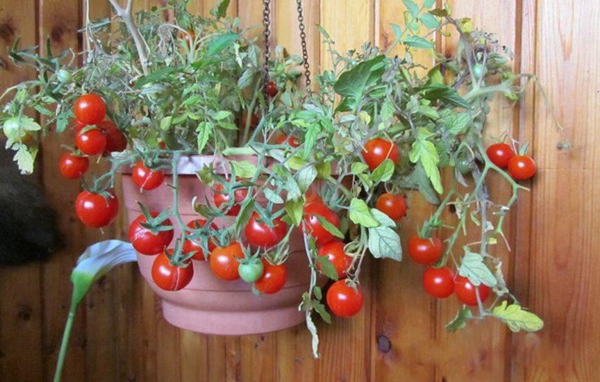 Помидоры балконное чудо: выращивание томатов в домашних усло.