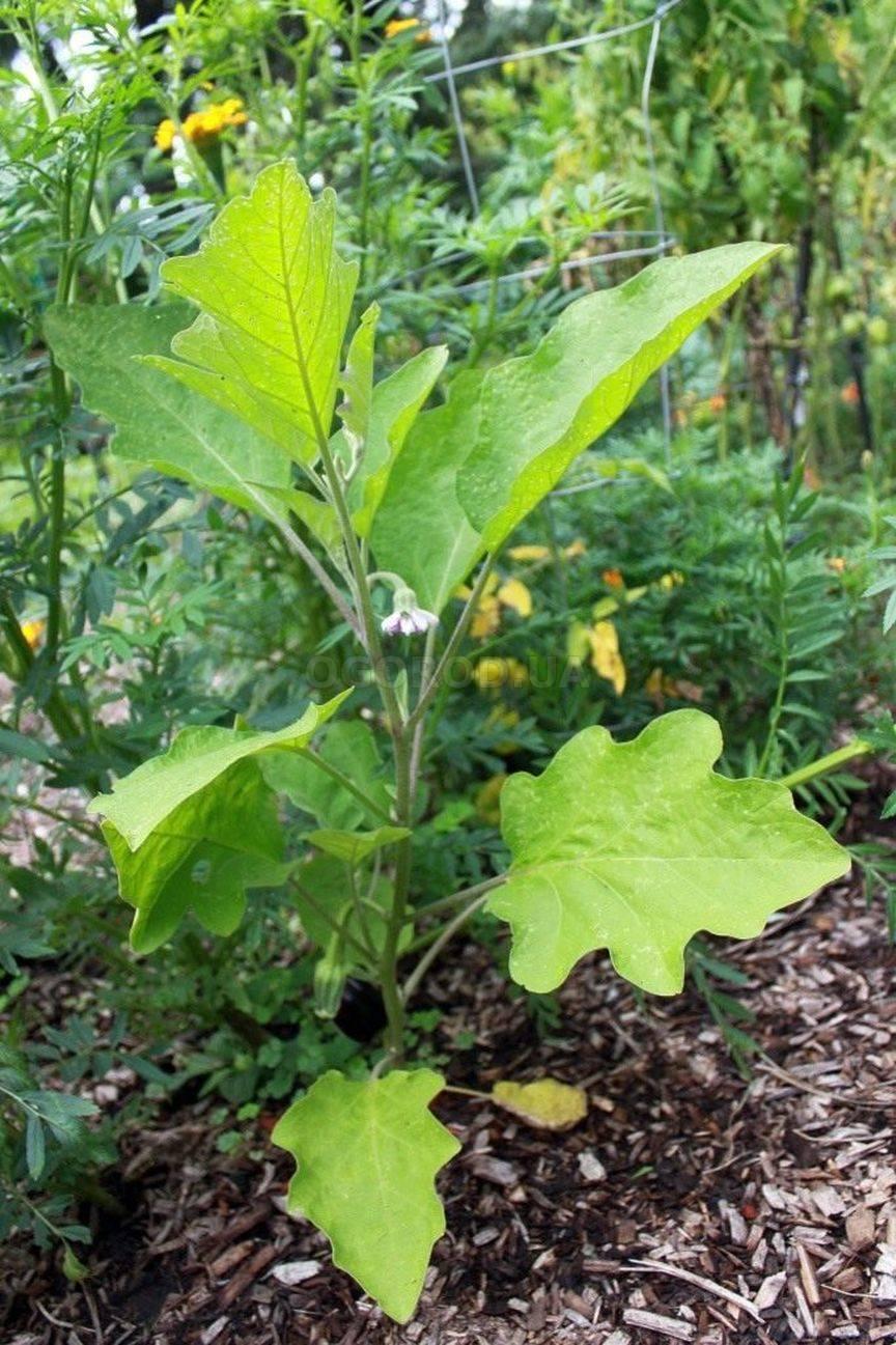 Чем обрабатывают баклажаны: защита от болезней и вредителей
