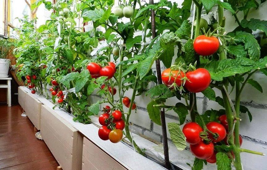 Ампельные томаты выращиваем в подвесных горшках