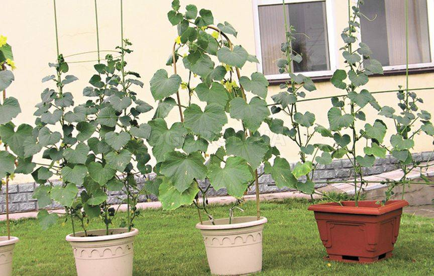 Сорт огурцов для выращивания на балконе virastisad.ru.