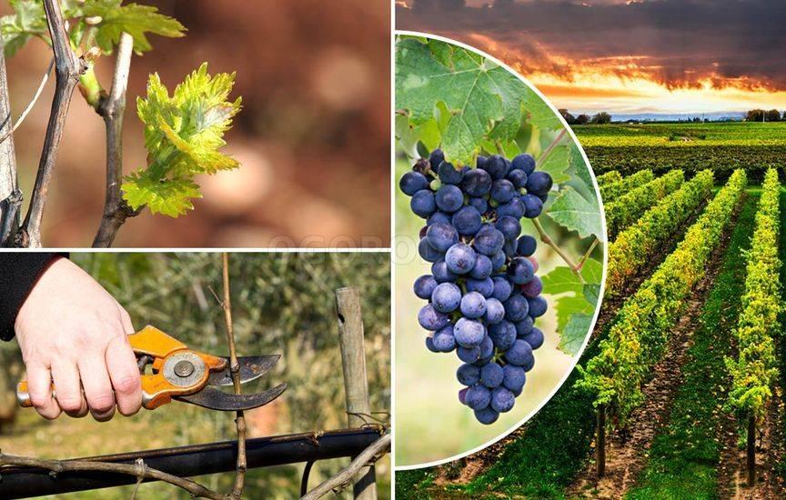 Уход за виноградом ранней весной