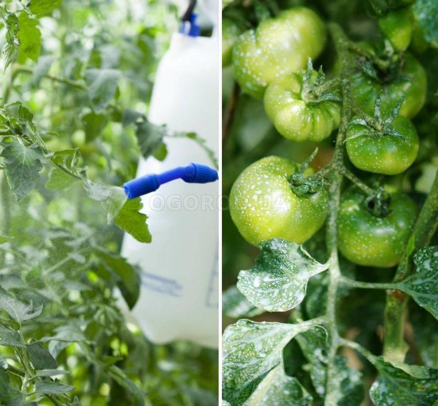 приворот чем опрыскать помидоры от болезней после высадки двери
