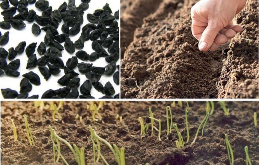Технология выращивания лука на семена 64