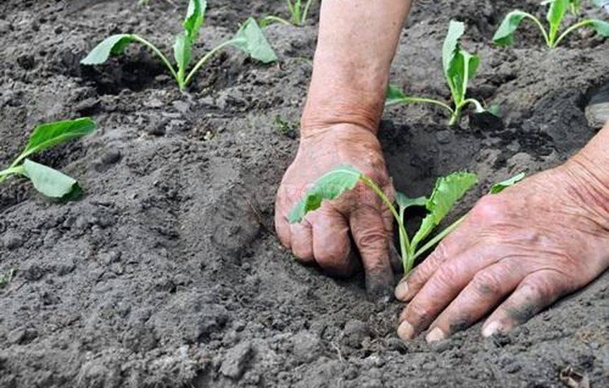 Посадка кольраби в открытый грунт рассадой 25