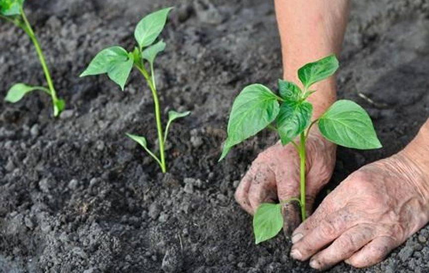 Выращивание перца болгарского в грунте 125