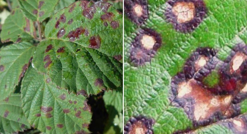 Болезни и вредители смородины