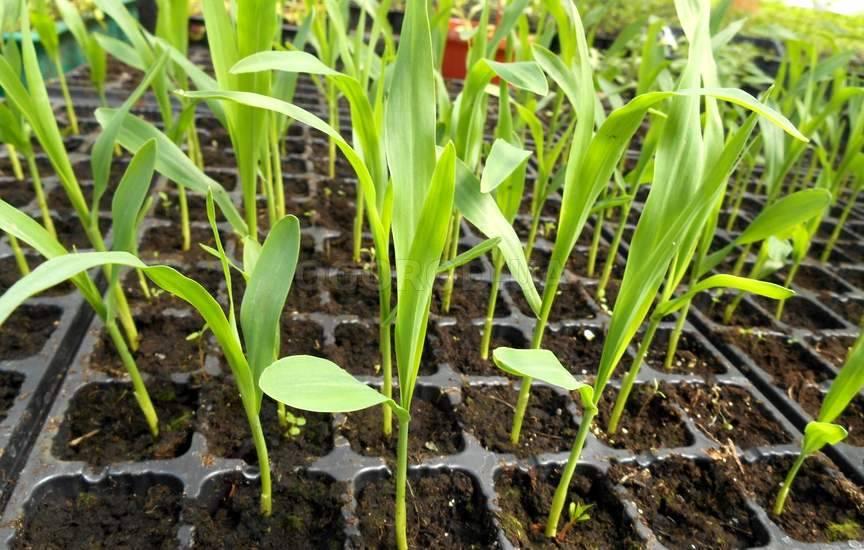 Как правильно сажать кукурузу фото 24