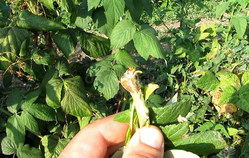 Болезни малины – как обнаружить и вылечить