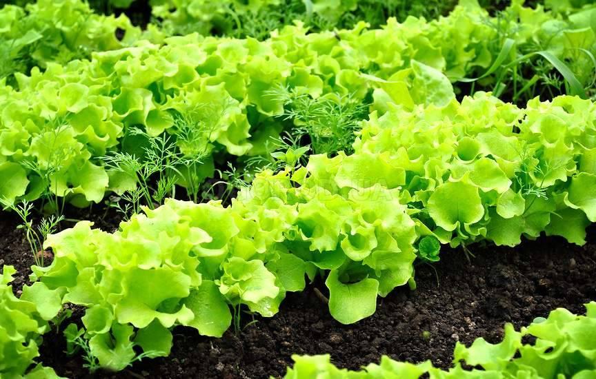 Какую зелень посадить на огороде с фото