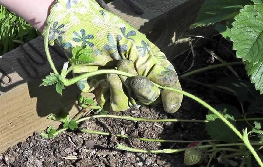 Земляника садовая выращивание и уход после сбора урожая 98