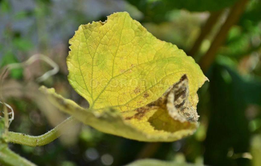 Почему у огурцов желтеют и сохнут листья