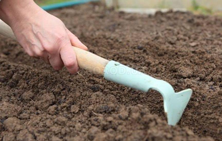 Алиссум: правильное выращивание из семян