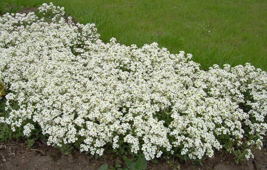 Алиссум биг джем выращивание из семян. Выращивание из семян алиссума снежный ковер. Виды и сорта
