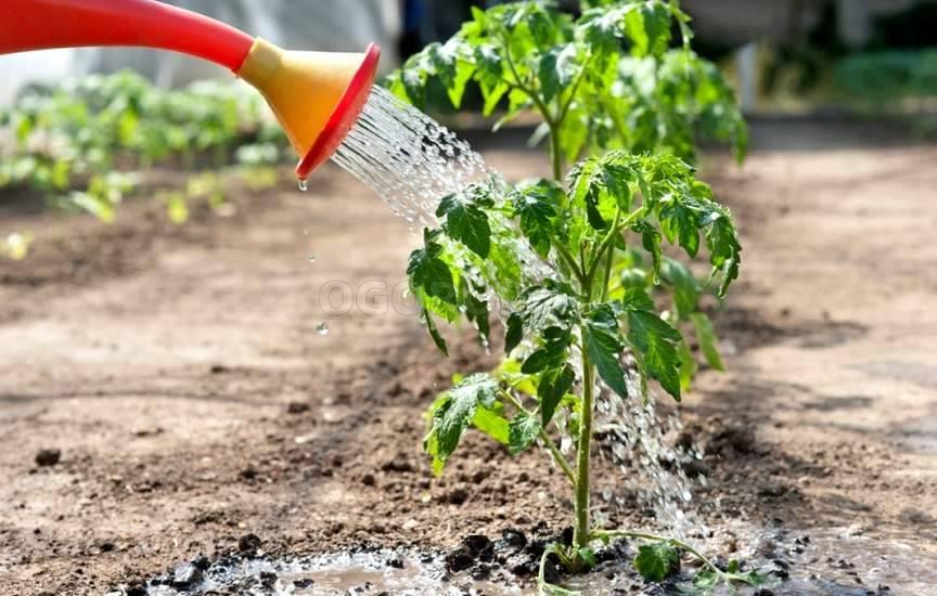 Метод выращивания томатов без полива 481