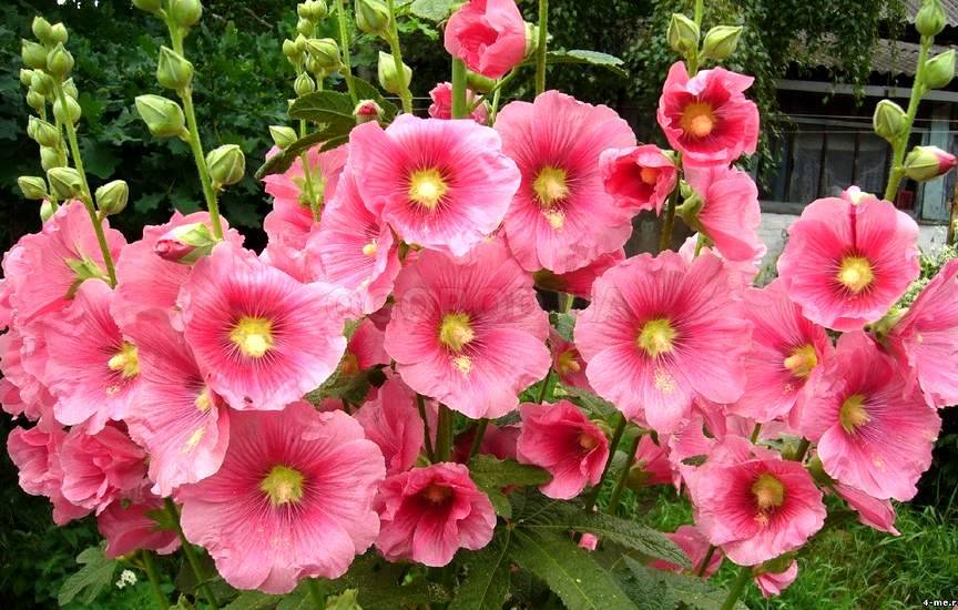 Цветок шток роза выращивание из семян 98