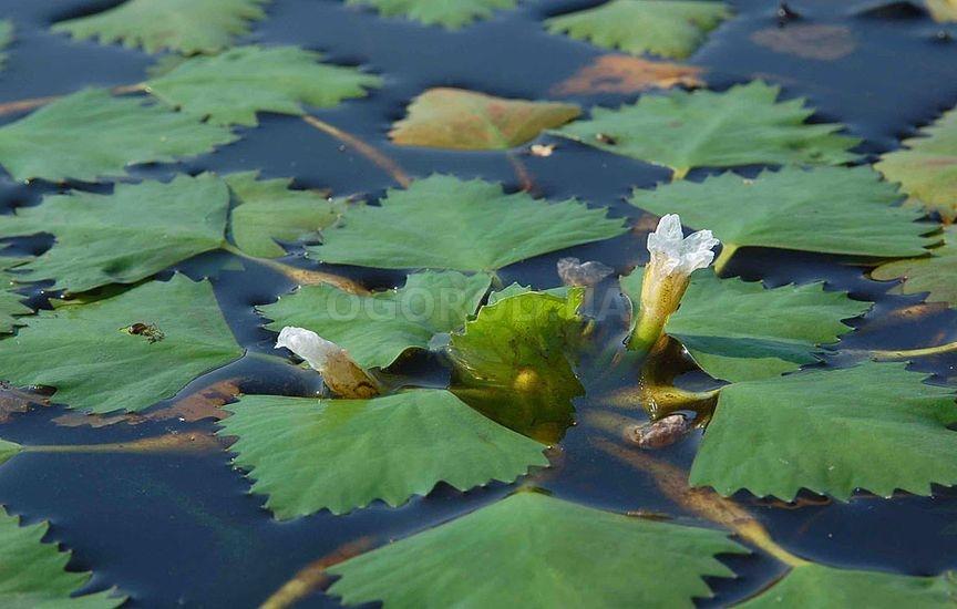 Розетка плавающих листьев чилима