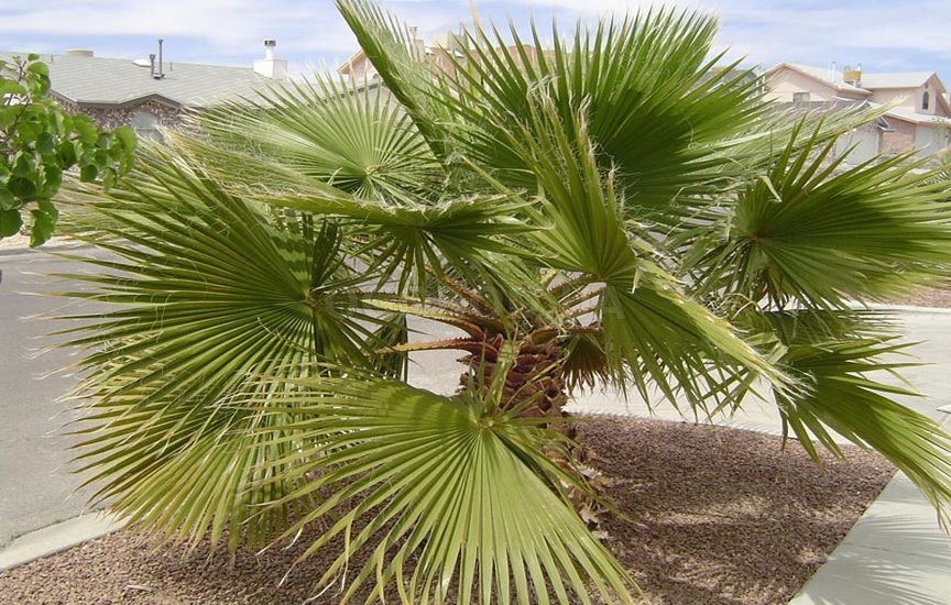 Пальмы выращивание из семян 93