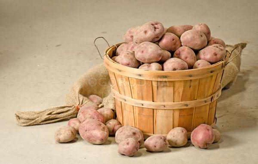 Хранение семенного картофеля