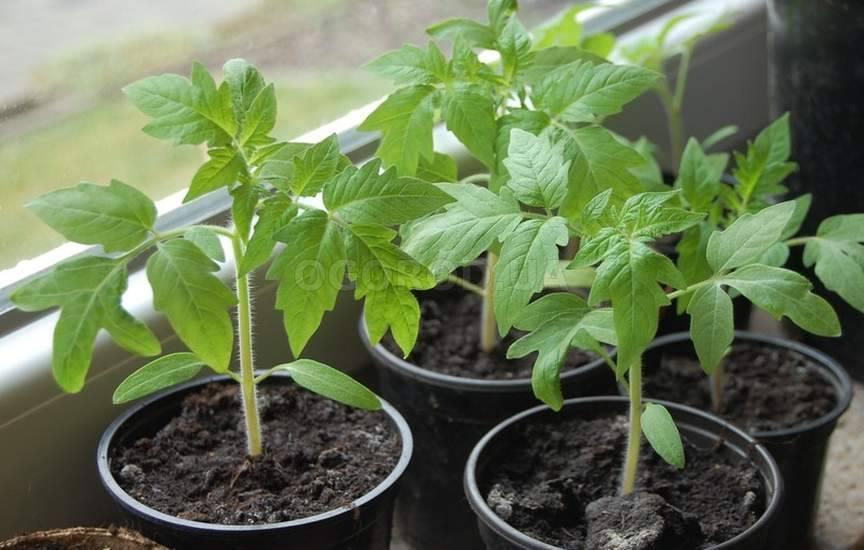 Ошибки, которые чаще всего мы допускаем при выращивании рассады