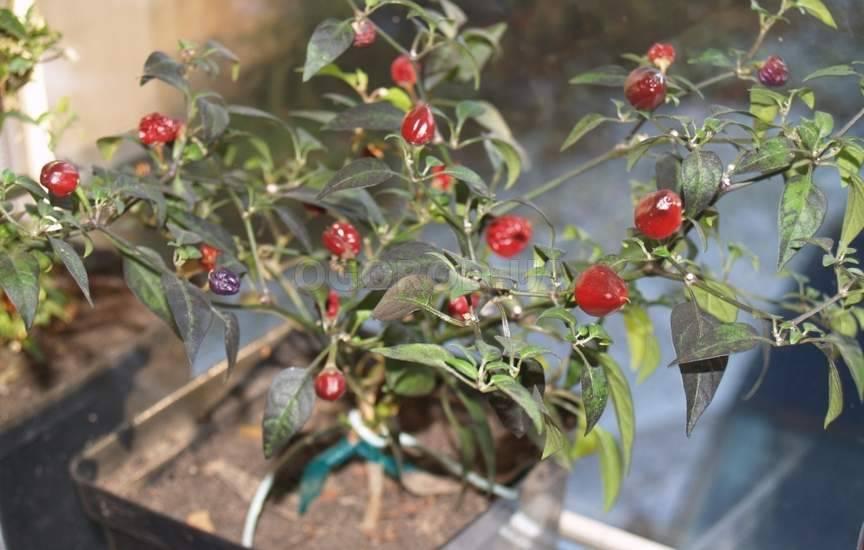 Комнатные перцы выращивание 82