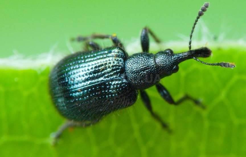 Букарки (лат. Coenorrhinus pauxillus)