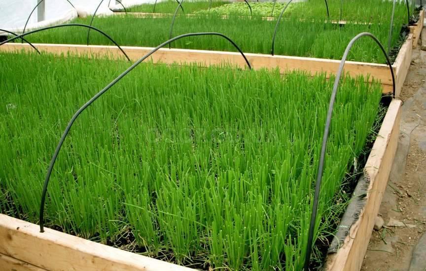 Выращивание зелени в коробах 29
