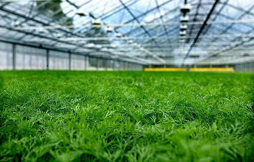 Выращивание укропа в теплице зимой как бизнес 91