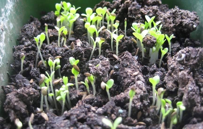 Как сажать семена салата в домашних условиях 33