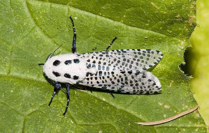 Древоточцы (лат. Cossidae)