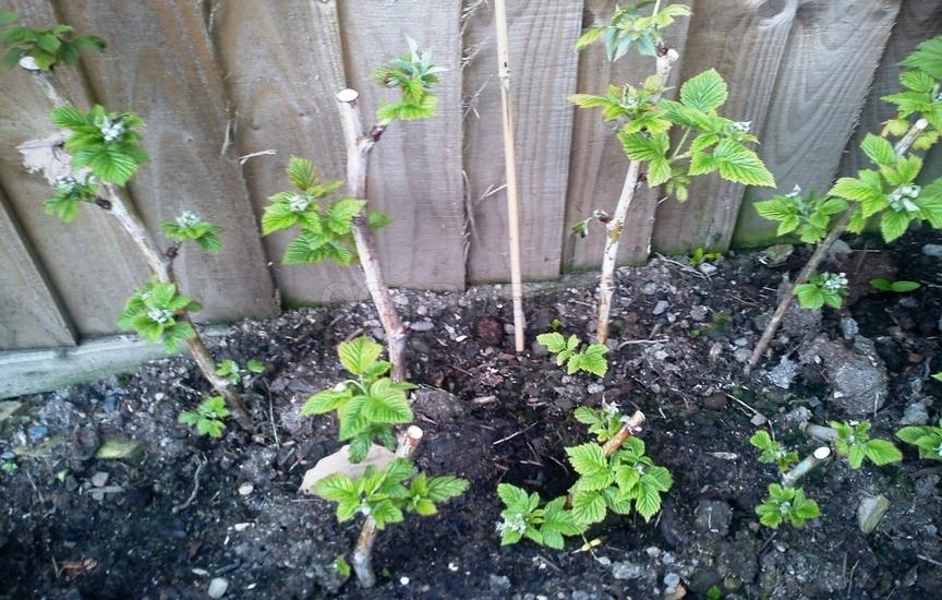 Выращивание ежевики семенами 43