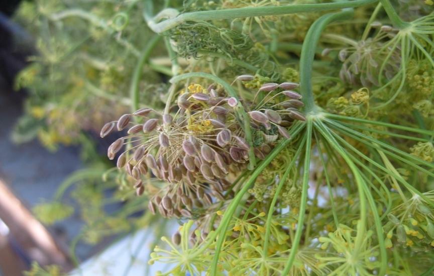 Заготовка семян укропа