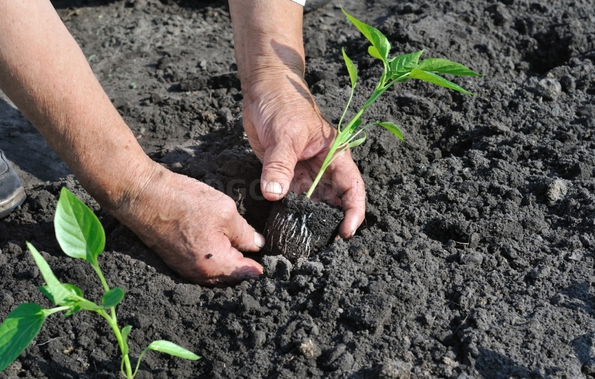 Перец сажать в почву какую 15