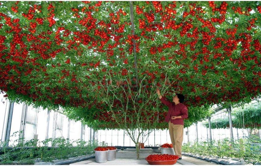 ярких, помидорное дерево фото агротехника выращивания пятницу воскресенье здесь