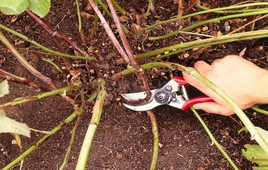 Выращивание ежевики семенами 14
