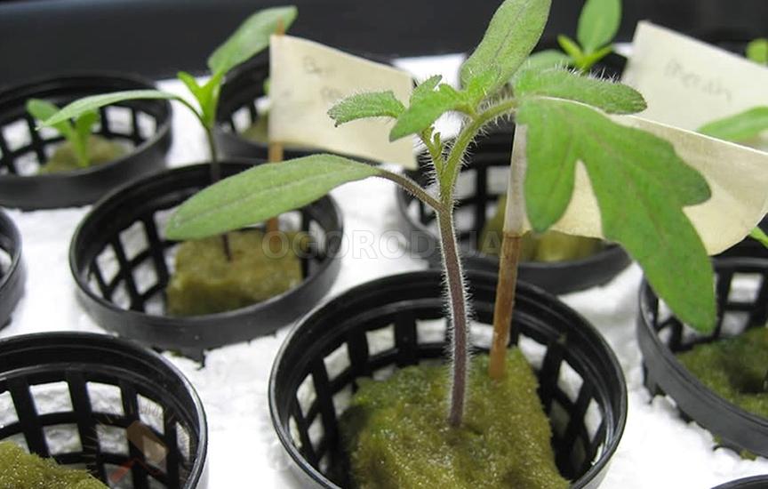 Гидропоника рассады томатов 58