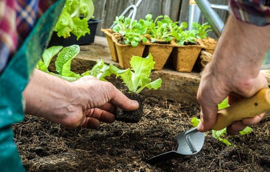 Высадка салата также может производиться из рассады