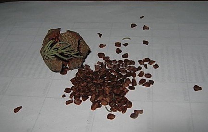 Выращивание кипариса из семян в домашних условиях 5