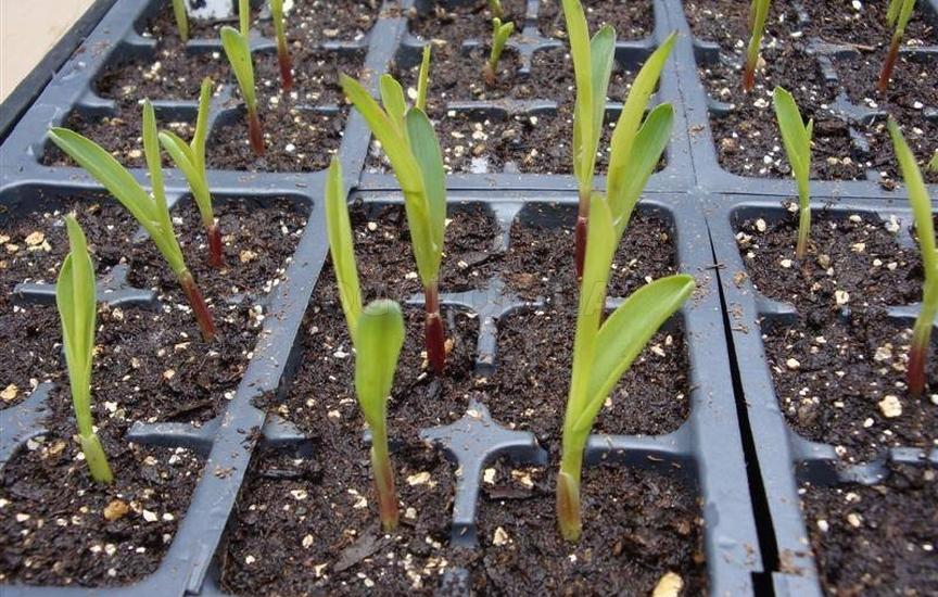 Как посадить рассаду кукурузы 41