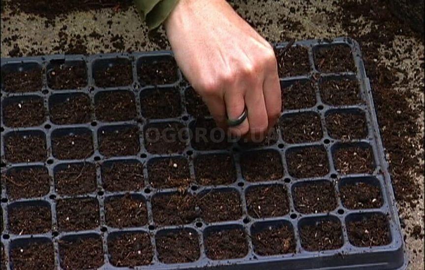 Подготовка семян капусты атрия к посадке