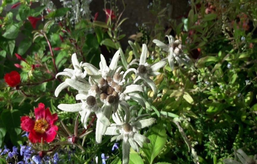 В садах эдельвейс зацветает с июня по август