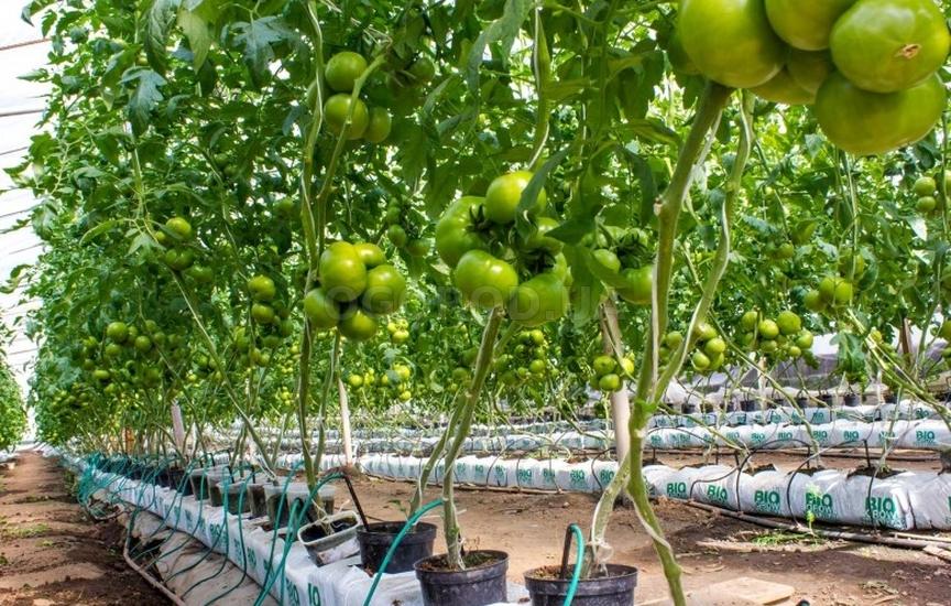 Бизнес план выращивание томатов 78