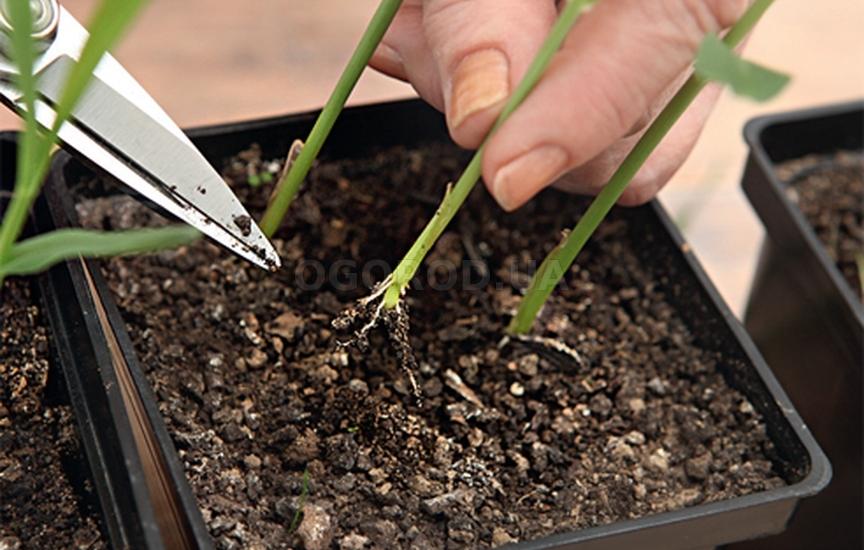 Как посадить рассаду кукурузы 83